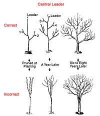 How To Prune An Apple Tree Pruning Fruit Trees Garden Trees Fruit Garden