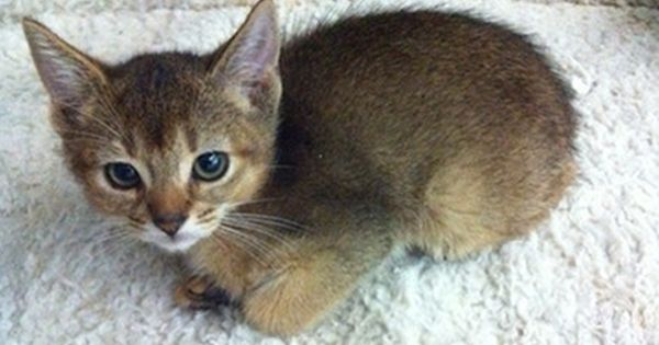 Abyssinian Kittens For Sale Westchester Abyssinian Kittens Kittens Cutest Kittens