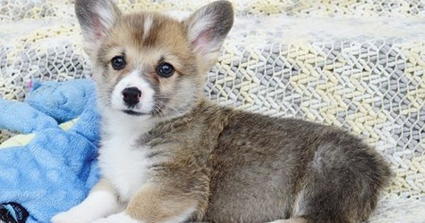 Akc Registered Corgi Puppies Akc Pembroke Welsh Corgis In Kansas Corgi Corgi Facts Pembroke Welsh Corgi