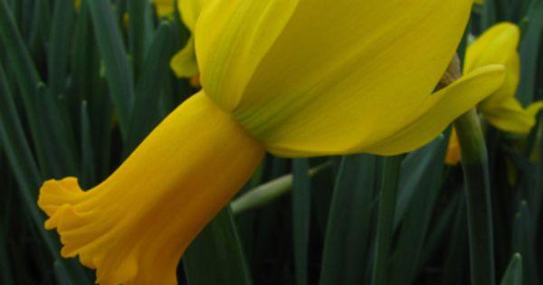 Daffodil Warbler Daffodils Tulips Flowers