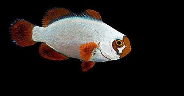 Ora Gold Nugget Maroon Clownfish Clown Fish Gold Nugget Maroon