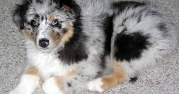 Silver The Australian Shepherd Australian Shepherd Puppies