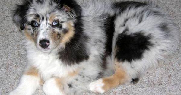 Silver The Australian Shepherd Australian Shepherd Puppies Shepherd