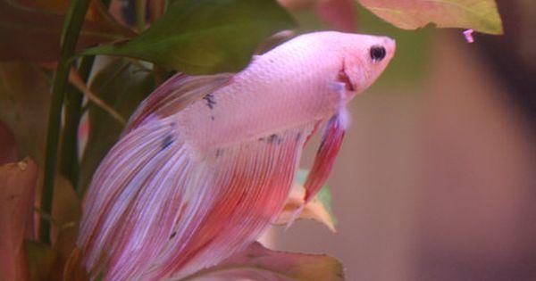 Beautiful pink betta fish picture aquariums pinterest for Pink betta fish