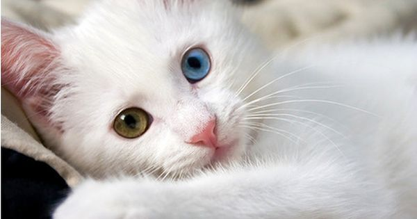 Really Stunning Pictures And Photos Smashing Magazine Pretty Cats Turkish Van Cats Cat Breeds