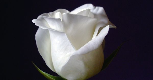 White Roses Represent Innocence And Purity And Are
