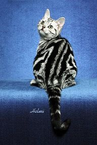 Cat Colors And Patterns Love The Swirl On The Classic Tabby White Tabby Cat Bengal Cat Bengal Cat Kittens