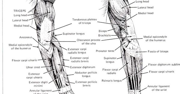 female arm muscle diagram