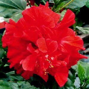 Hibiscus Rosa Sinensis In 2020 Hibiscus Plant Hibiscus Rosa Sinensis Hibiscus
