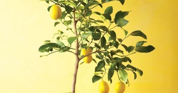 How to grow lemon trees from seeds indoors~ plants