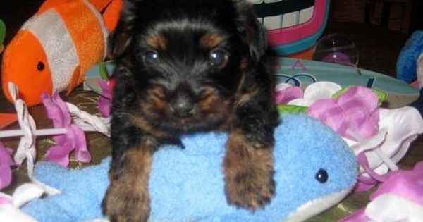 Precious F Kahlua Baby Yorkie Yorkshire Terrier Puppy 4 Sale