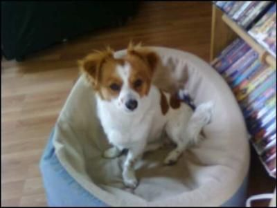 Jack Russell Or Papijack Jack Russell Papillon Puppy