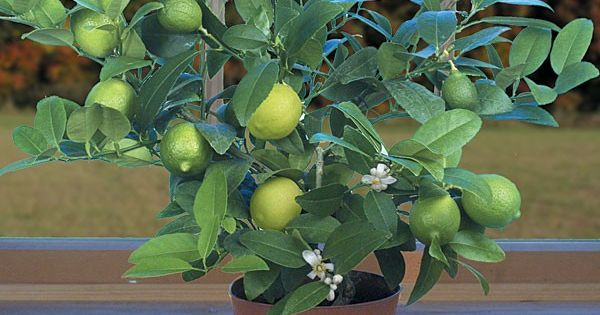 Key Lime (Citrus aurantifolia) - Fruiting Plants for Containers - Fruits | Gardening | Pinterest