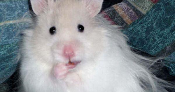 White Long Haired Syrian Hamster Bear Hamster Hamster Syrian