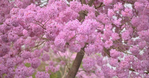 Tabebuia Rosea Also Known As Pink Trumpet Or Basant Rani In Hindi Is A Deciduous Tree Found In Temperate Climates When In Bloom Deciduous Trees Bloom Tree