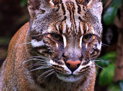 The Asian golden cat (Pardofelis temminckii, syn. Catopuma temminckii), also called the
