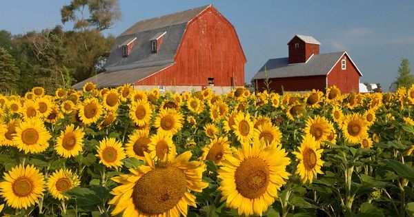 Sunflower field and red barns