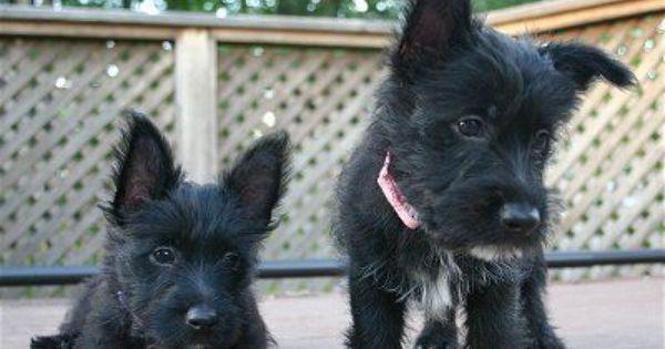 Scottie Westie Mix Scottie Puppies Westie Puppies Terrier Dog