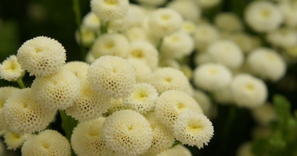 Feverfew Virgo Chrysanthemum Parthenium 25 Seeds Avg The Large Blooms Are Made Up Of Small Button Like Flowers Beautiful Feverfew Plant Feverfew Plants