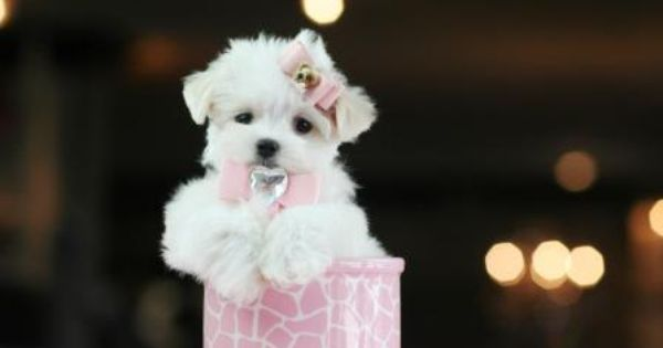Teacup Maltese Puppy For Sale In Indiana Teacup Puppies Maltese Teacup Puppies Teacup Puppies For Sale