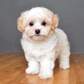 I Have A Sweet Smart Precious Maltipoo Named Valentine Newer