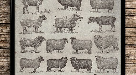 Vintage Types Of Sheep Animal Prints Office Decor