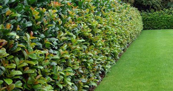 Image Hedge Laurel All Hedging A Z By Species