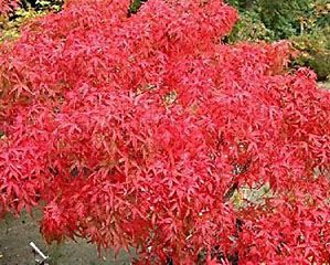 Height 3 4 Ft Dwarf Palmate Suitable For Bonsai Spring Summer Green Fall Red Zones 6 9 Japanes Japanese Maple Tree Japanese Maple Japanese Tree
