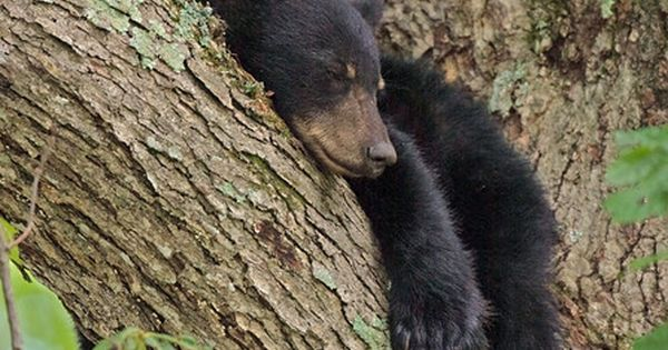 Cades Cove Tennessee Approximately 1 500 Black Bears Live