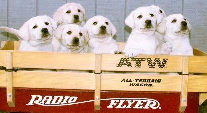 White Lab Pups White Akc Labrador Puppies Akc Yellow Lab Puppy For Sale Yellow English Lab Pups Blonde Labra White Lab Puppies Puppies For Sale