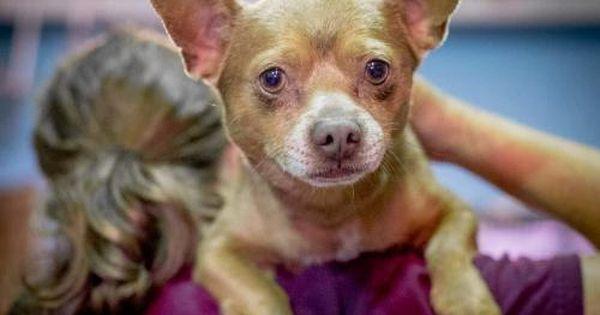 Gayweho Dogs 4 U On Dogs Pet Adoption Chihuahuas For Adoption