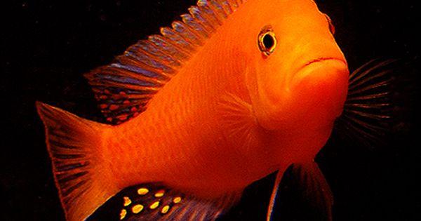 Cichlids For Sale Cichlid Aquarium Cichlid Fish African Cichlid Aquarium