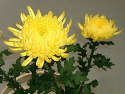 Chrysanthemum Dictionary Definition Chrysanthemum Defined Chrysanthemum Chrysanthemum Flower Flowers