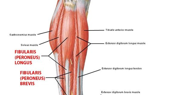 peroneus longus - Google Search | Anatomy fun | Pinterest ...