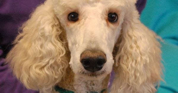 Adoption For Standard Poodle Rescue Animal Rescue