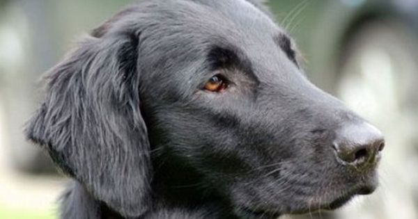 Flat Coated Retriever From Just Add Water Kennels Flat Coated Retriever Dog Cat I Love Dogs