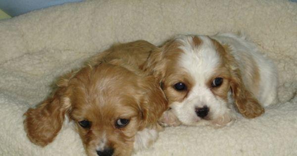 Cocker Spaniel Spaniel Puppies Cocker Spaniel Puppies Cute Puppies