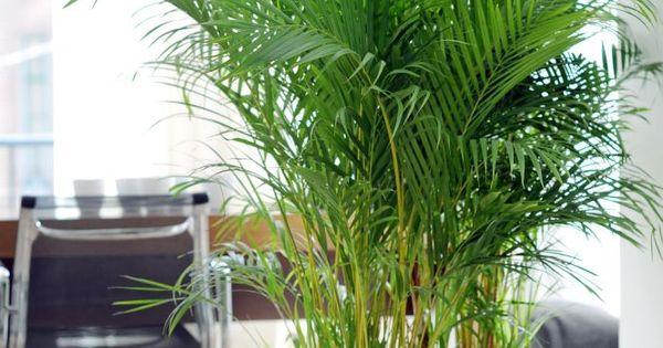 Praxis heb je een kamer met weinig kleur met een fel for Areca palm safe for cats