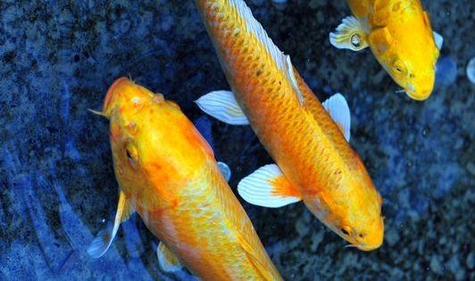 Koi blue yellow koi pinterest koi and blue yellow for Yellow koi fish
