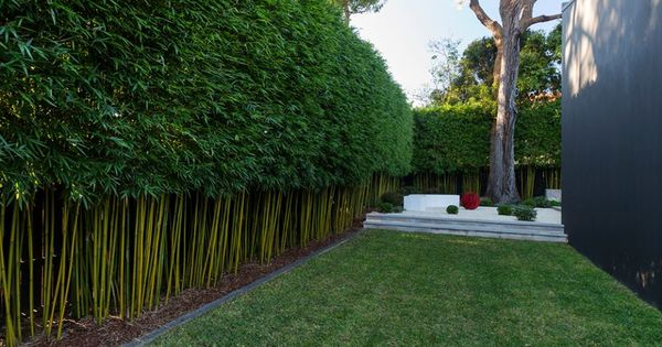 Bamboo Hedge Bamboo Pinterest Bamboo Hedge Gardens