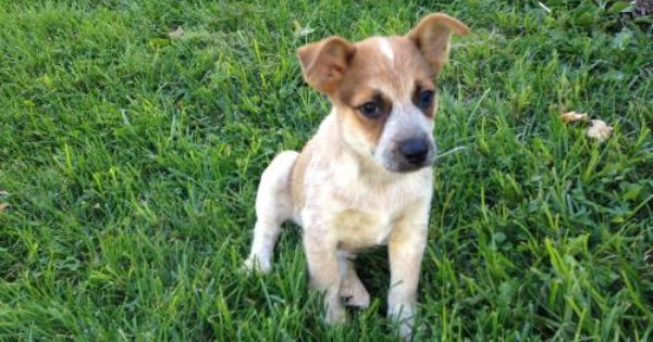 Roscoe Is An Adoptable Terrier Australian Cattle Dog Blue Heeler