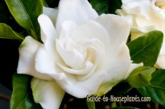 I Love The Fragrance Of Gardenias So Much I Hope I Can Give One All The Care It Needs To Thrive Growing Gardenias Gardenia Care Orchid Plant Care