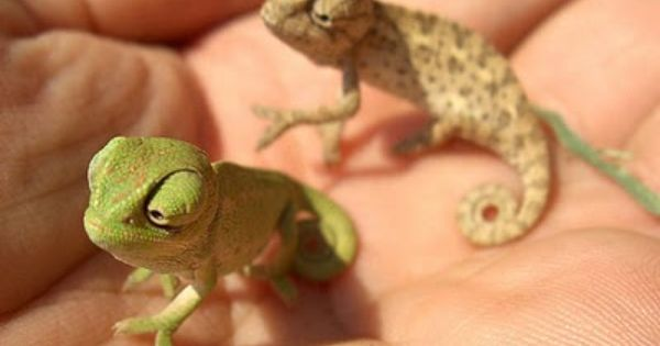 Adorable baby chameleons reptiles