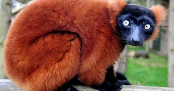 Environment | Endangered species, Lemur and Animal
