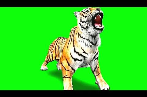Green Screen Tiger Video Tiger Stock Footage