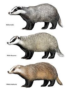 Top to bottom: European badger, Asian badger, and Japanese