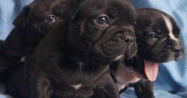 Reinrassige Franzosische Bulldoggen Welpen Suchen Zuhause In Mitte