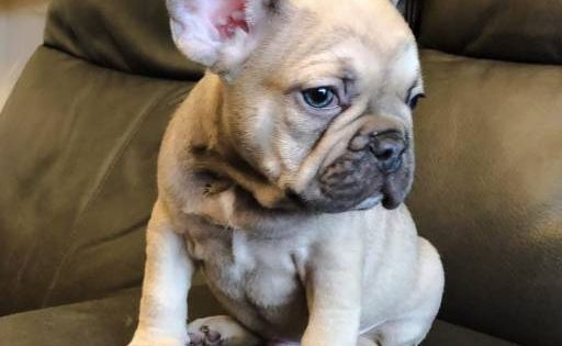 Find Your Dream Puppy Of The Right Dog Breed At Fawn French Bulldog French Bulldog Bulldog Puppies