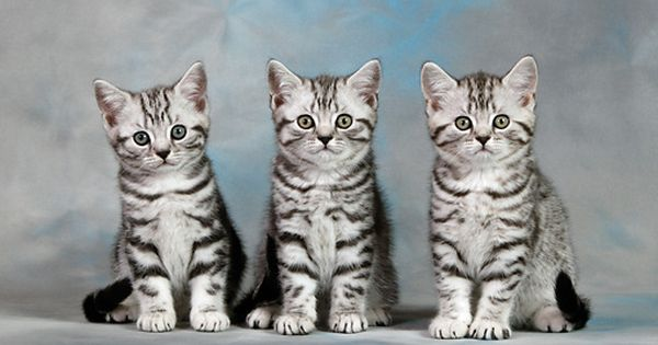 Cat 03 Kh0091 01 Three British Shorthair Silver Tabby Kittens