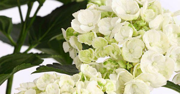 Garten Hortensie Curly Wurly Hortensien Garten Pflanzen Pflege